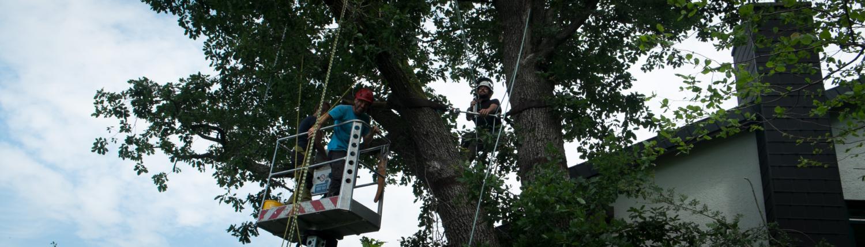 Ein Mitarbeiter auf dem Steiger, der andere per Seil im Baum
